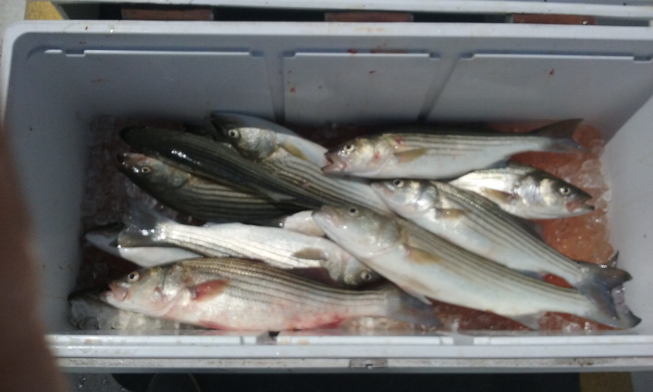 Another Batch of Nice Chesapeake Bay Rockfish!