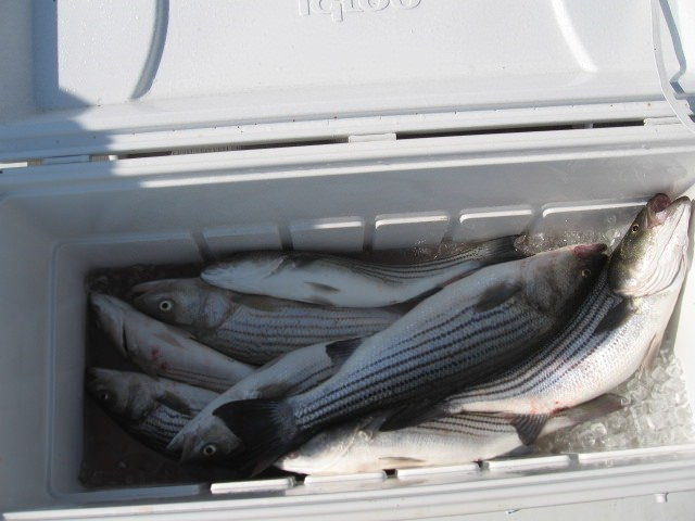 A Nice Cooler Full of Rockfish - Sawyer Chesapeake Bay Fishing Charters