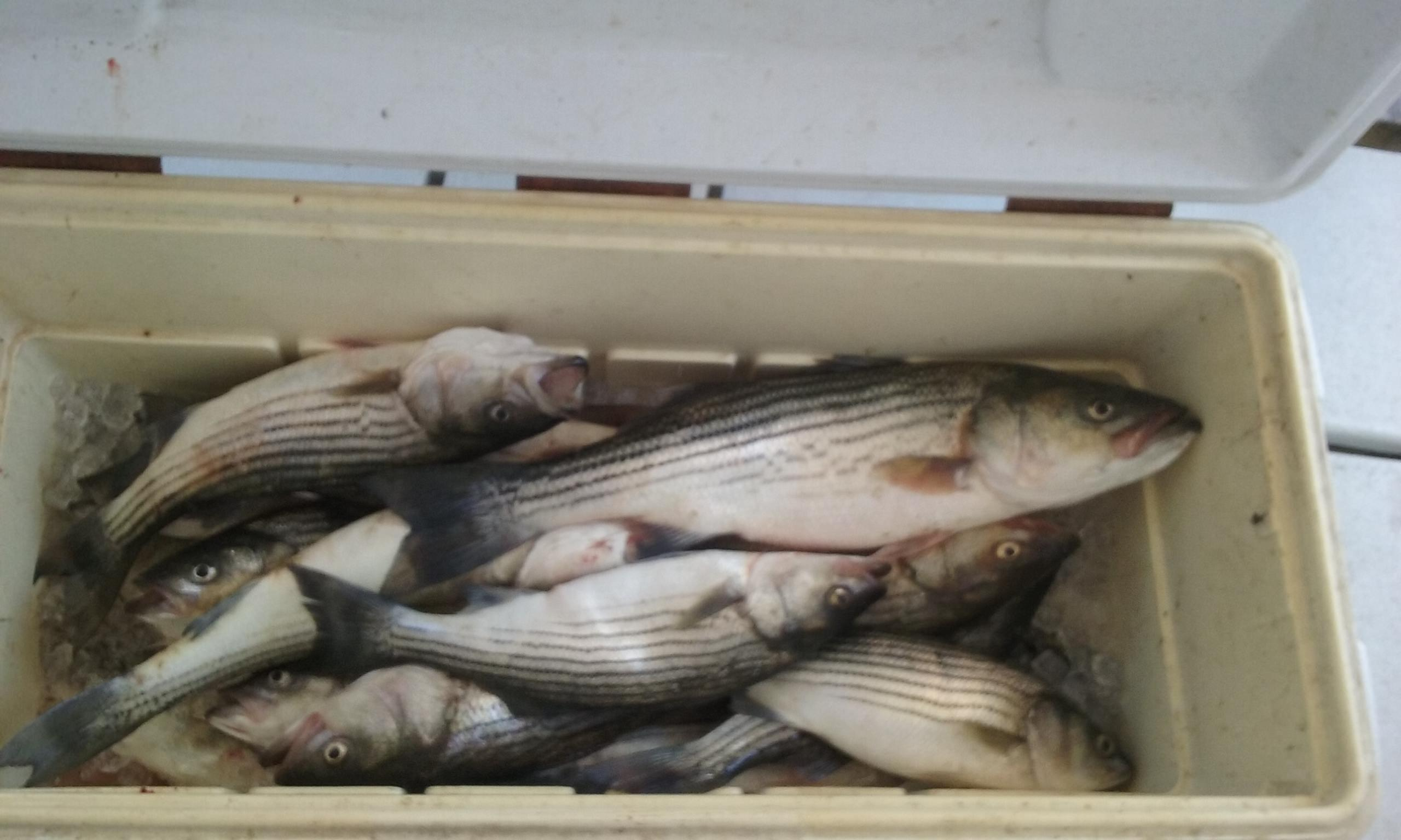 Today's Catch of Chesapeake Bay Rockfish!