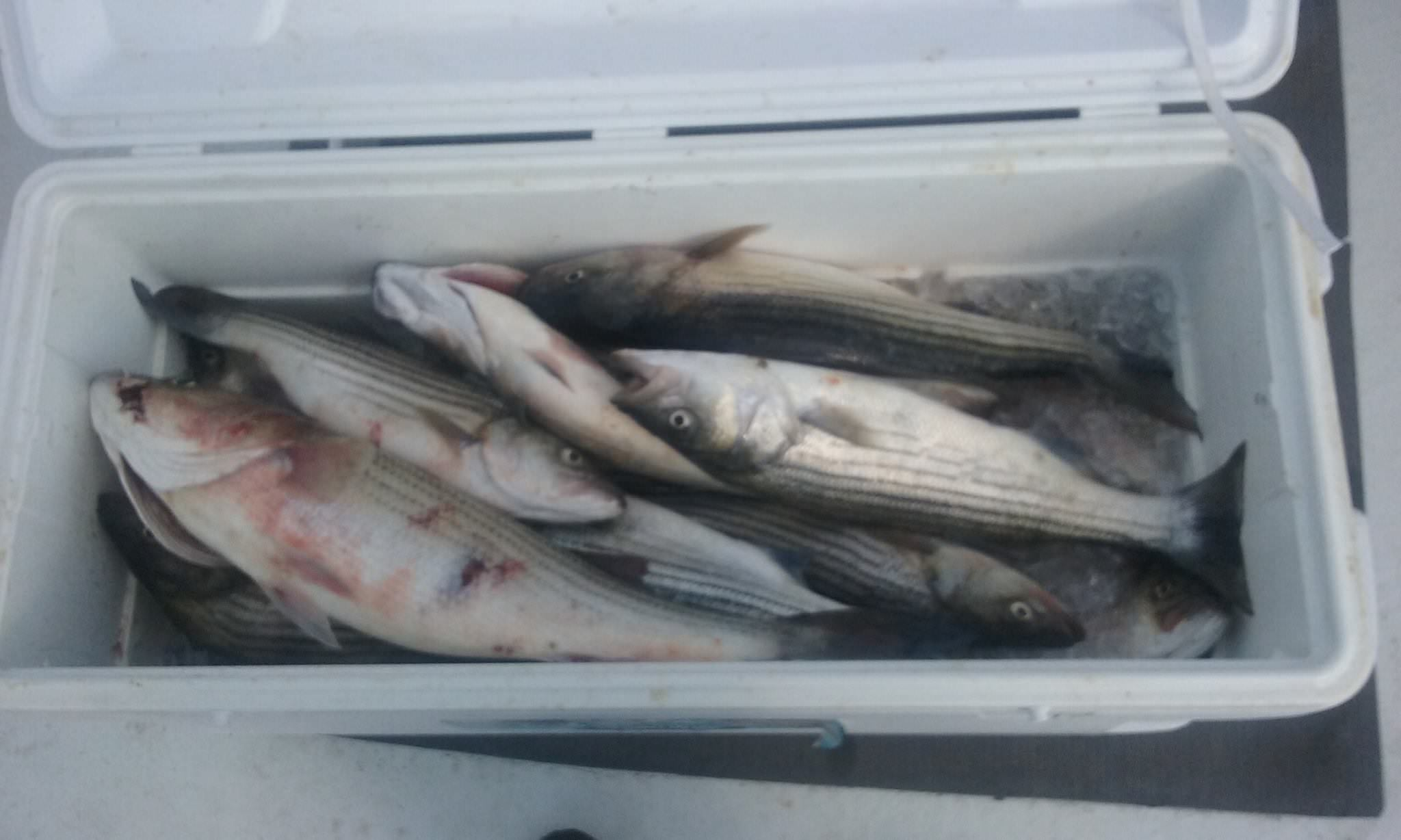 Another Cooler Full Of Rockfish Caught On A Chesapeake Bay Fishing Charter!