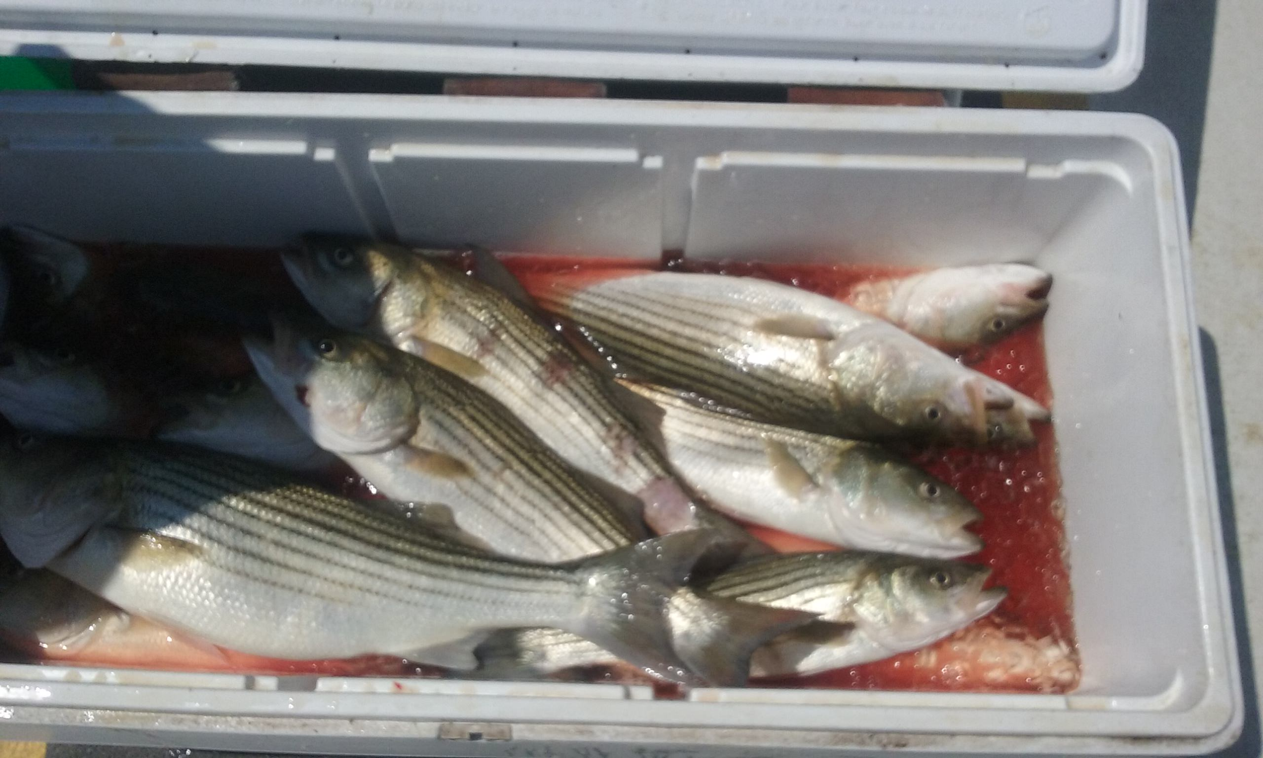 Another Cooler Full of Maryland Rockfish!