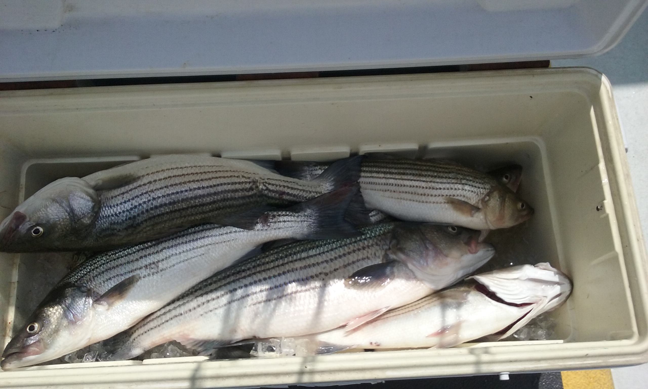 A Cooler of Maryland Rockfish