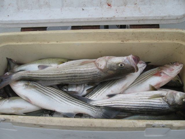 A Mix Of Striped Bass And Bluefish On The Chesapeake Bay!