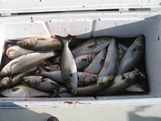 A Mix Of Striped Bass And Bluefish Caught On Live Bait