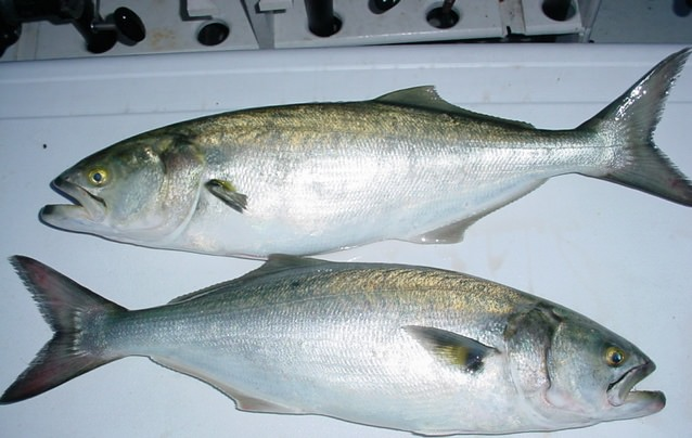 Five-pound Bluefish Caught in Maryland's Chesapeake Bay!