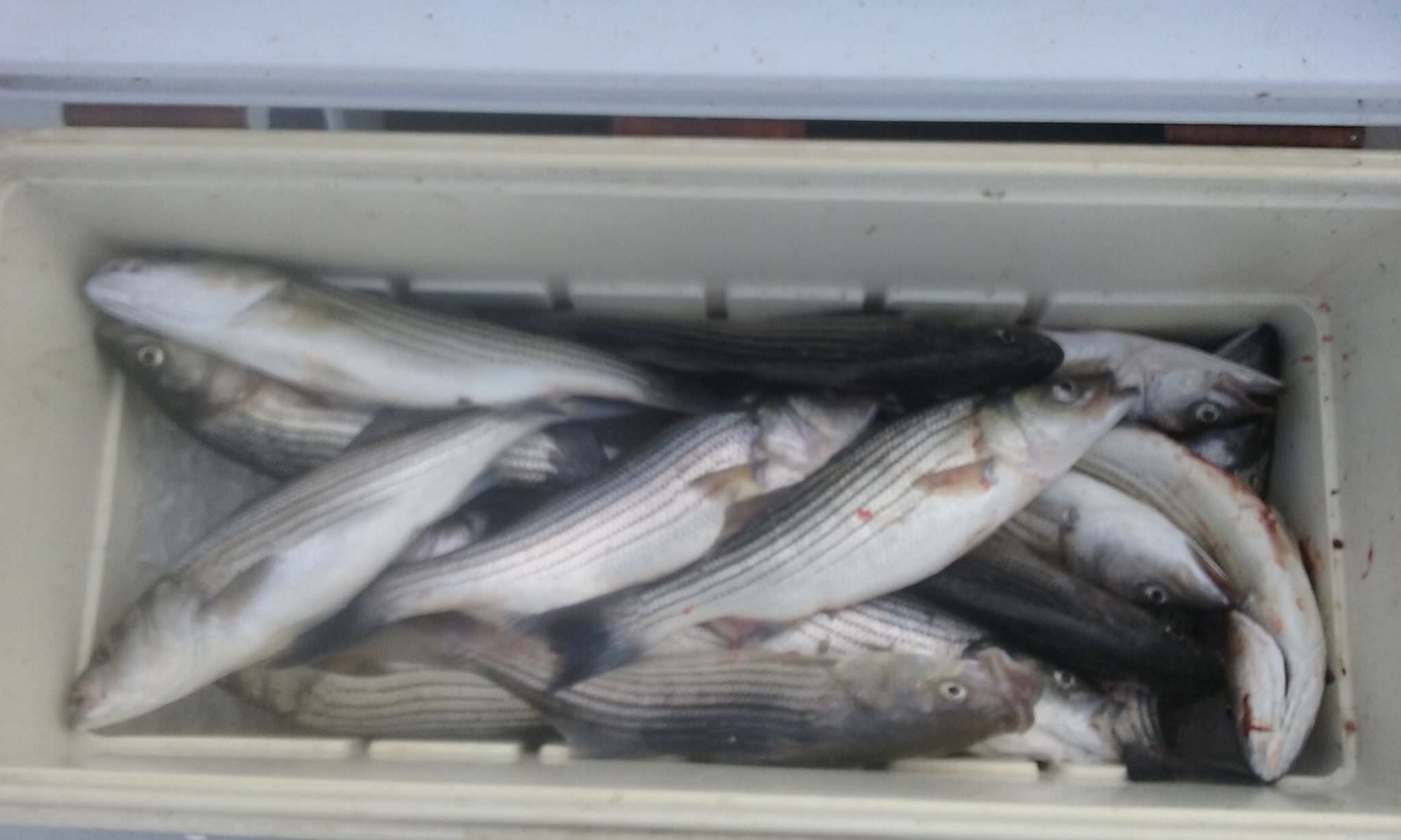 A Limit Of Rockfish Caught Live-Lining!